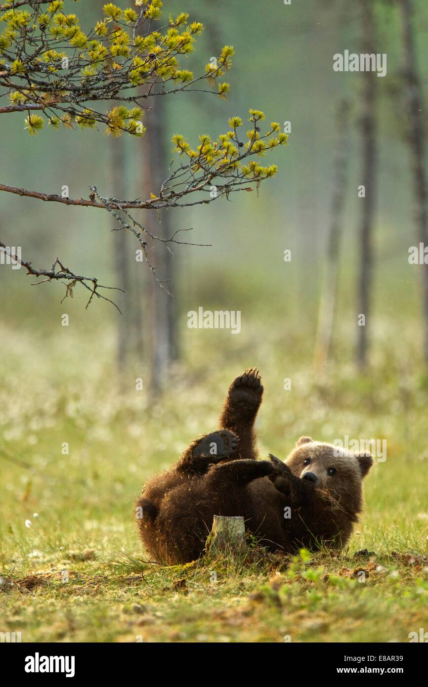 Brown bear cub playing (Ursus arctos) in Taiga Forest, Finland - Stock Image