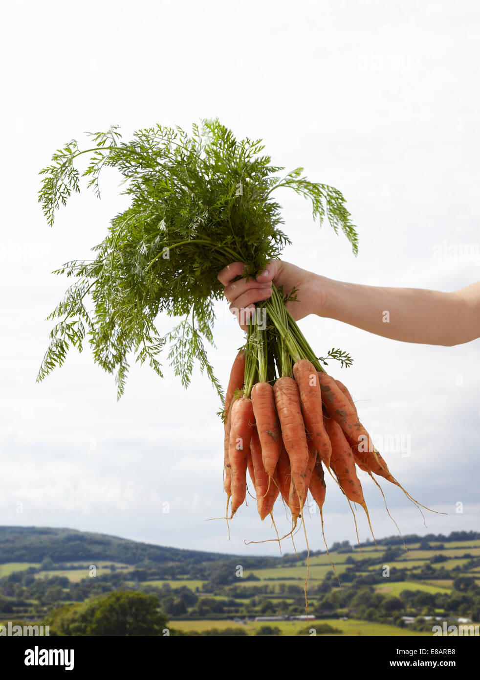 Hand holding up bunch of carrots - Stock Image