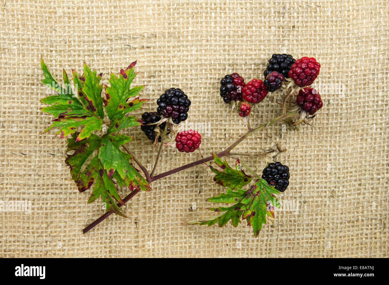 Red and black blackberries on a twig at burlap surface - Stock Image