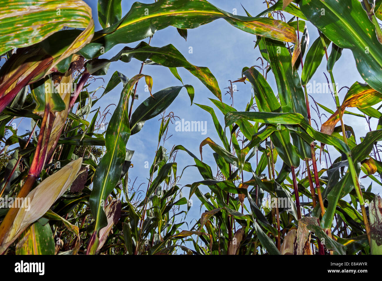 Worm's-eye view on maizefield / cornfield / field of maize - Stock Image