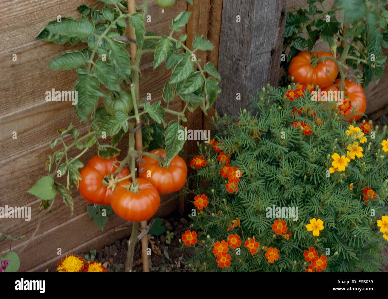Close-up of ripe tomatoes growing with tagetes in vegetable garden ...