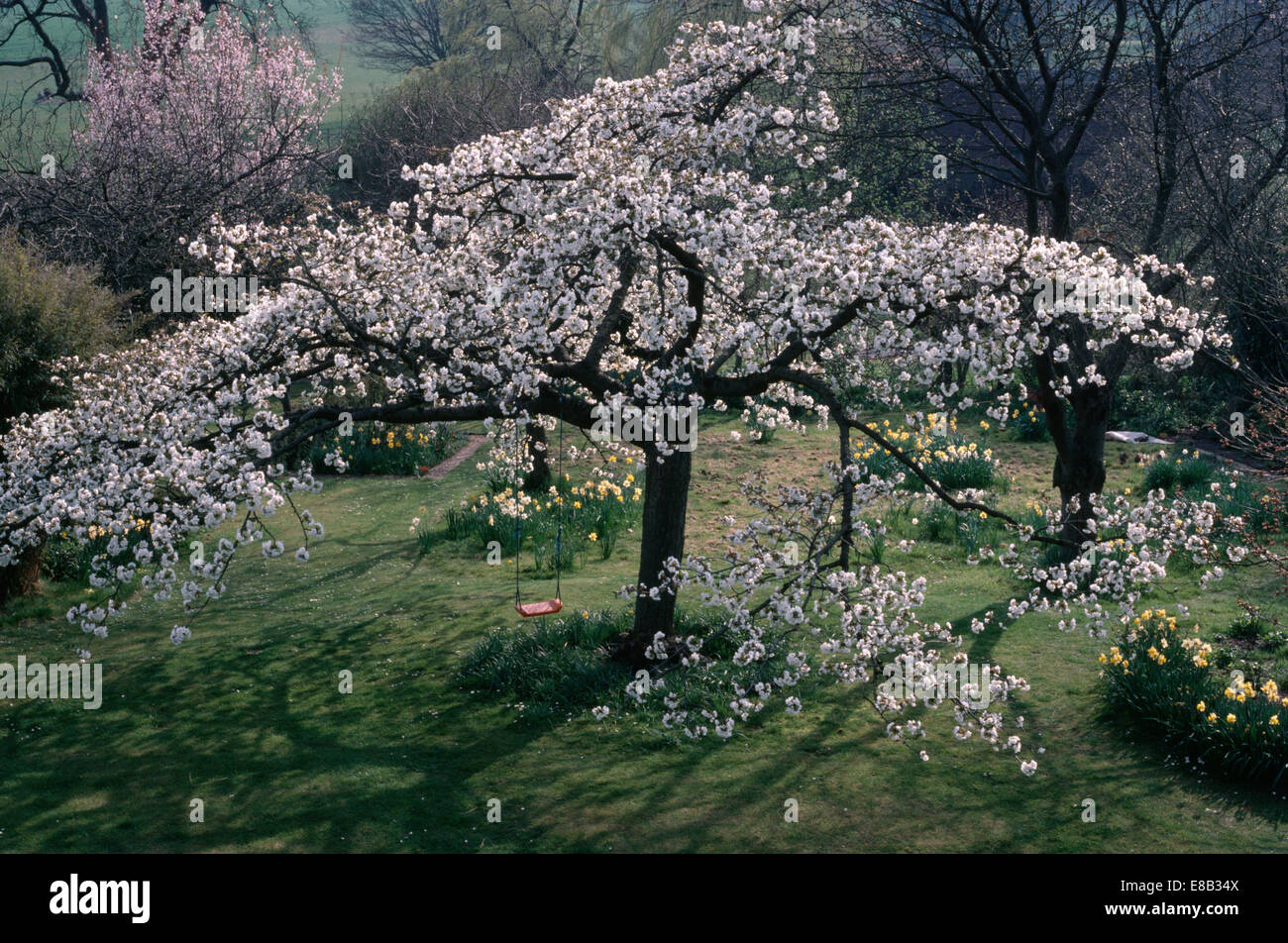 Prunus Hokusai' growing on grass in natural Spring garden - Stock Image