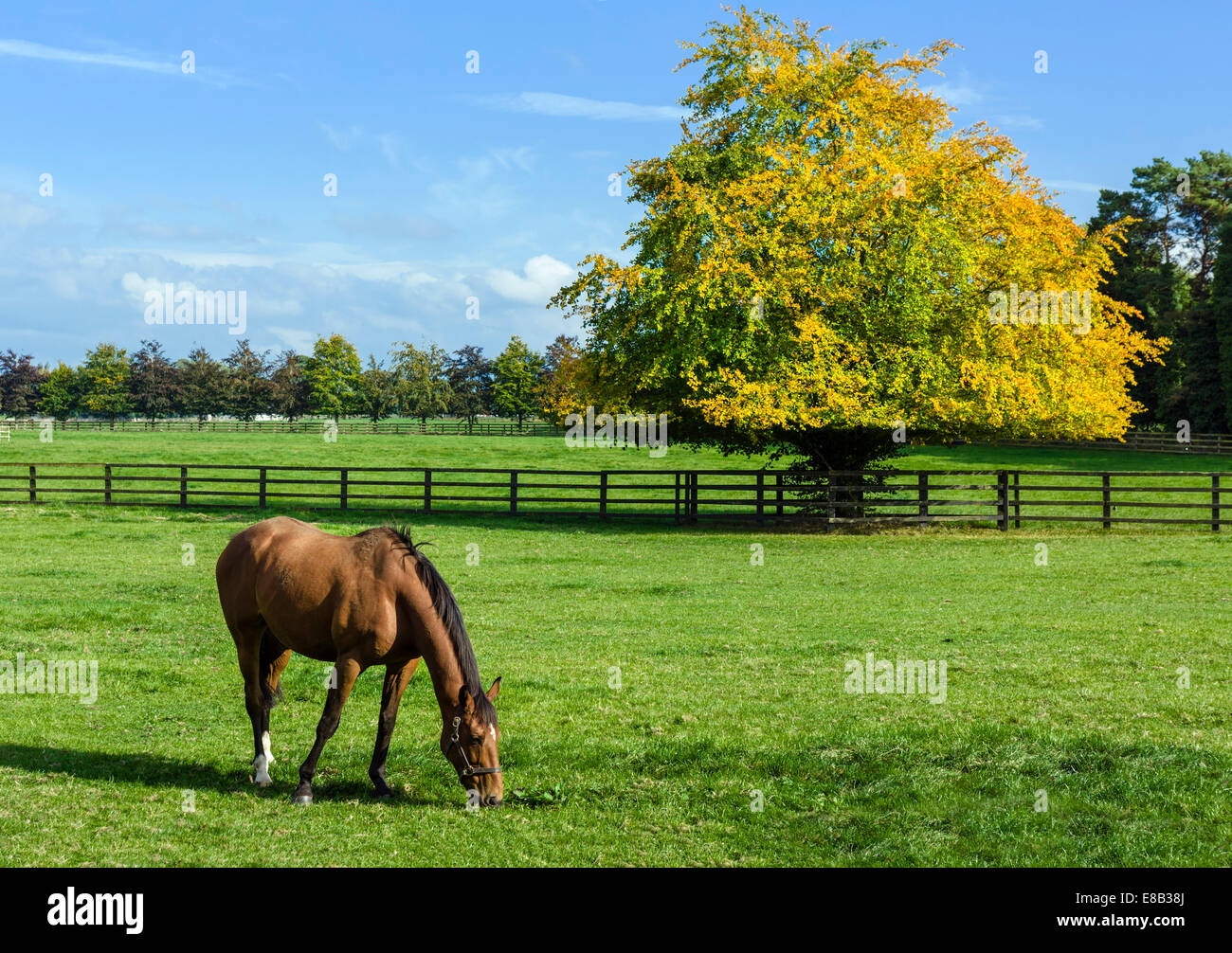 Horse at the Irish National Stud breeding facility, Tully, Kildare, County Kildare, Republic of Ireland - Stock Image