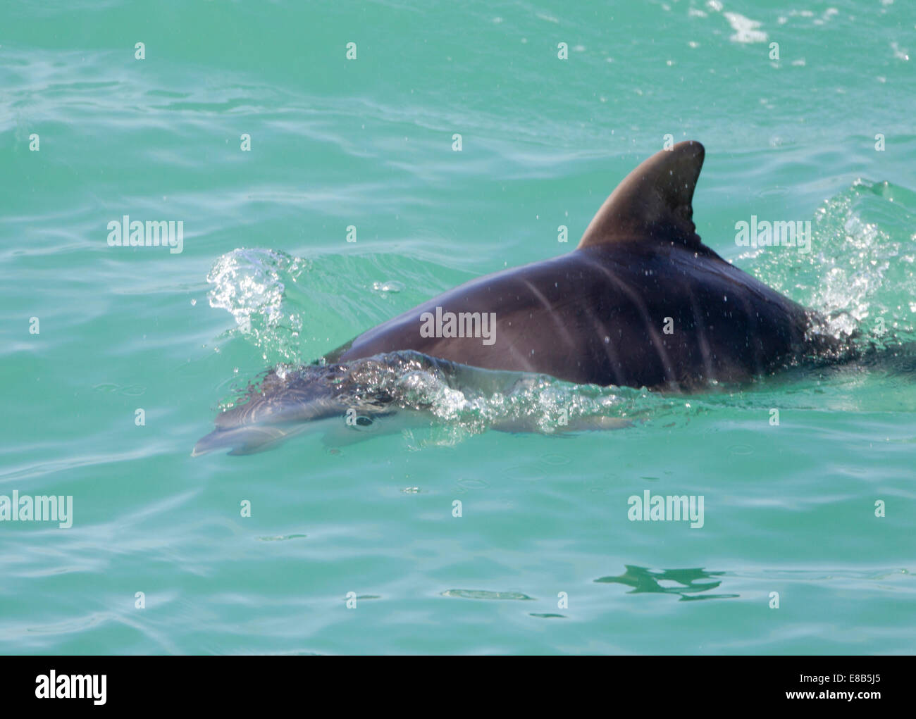 Bottlenose Dolphin Eye visible below the water - Stock Image