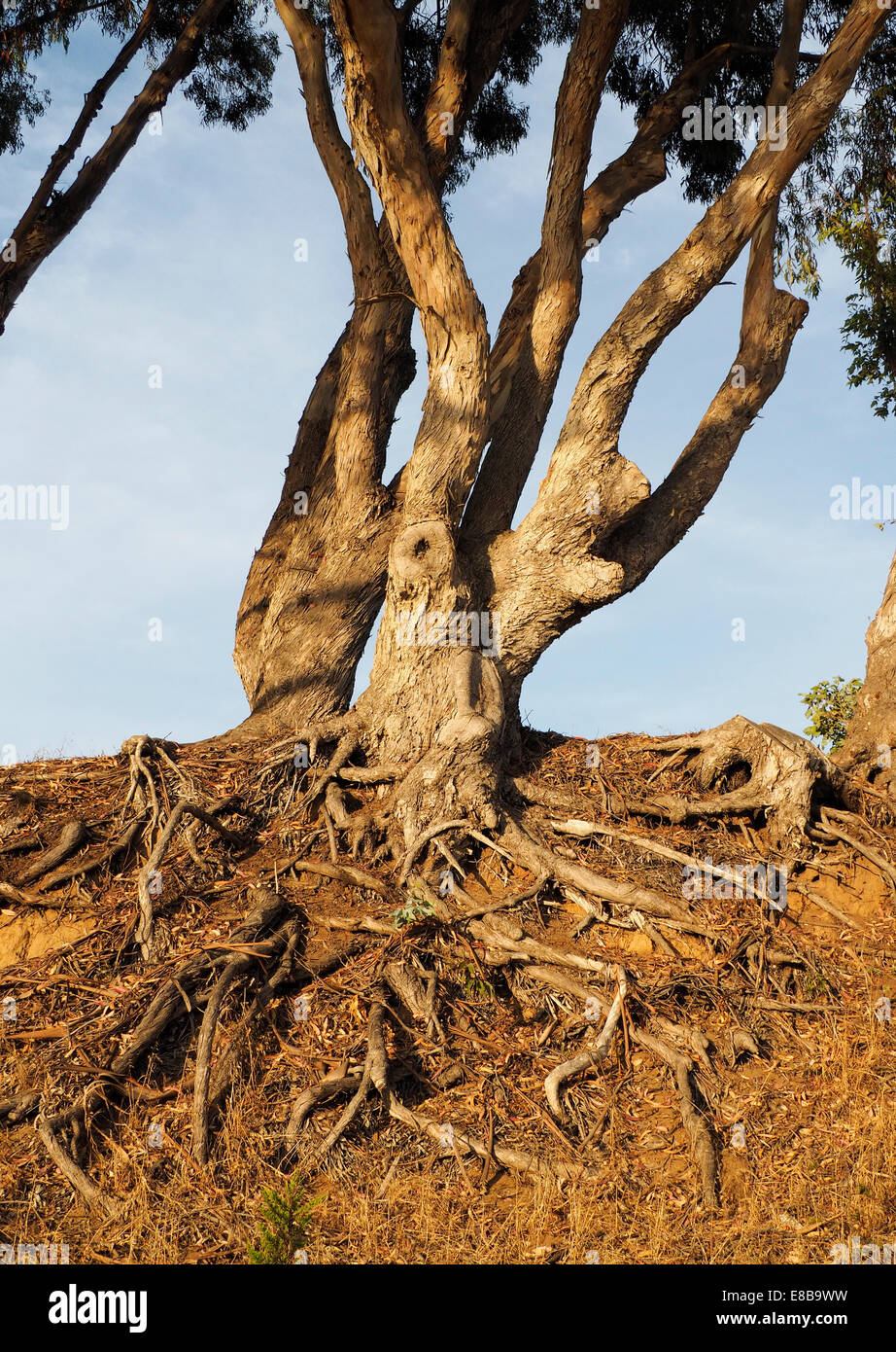 Tangle of Tree Roots Exposed Above the Soil - Stock Image