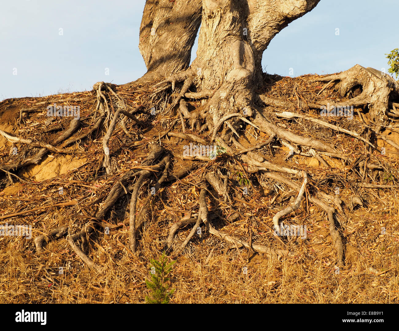 Tangle of Trees Roots on Top of Soil - Stock Image