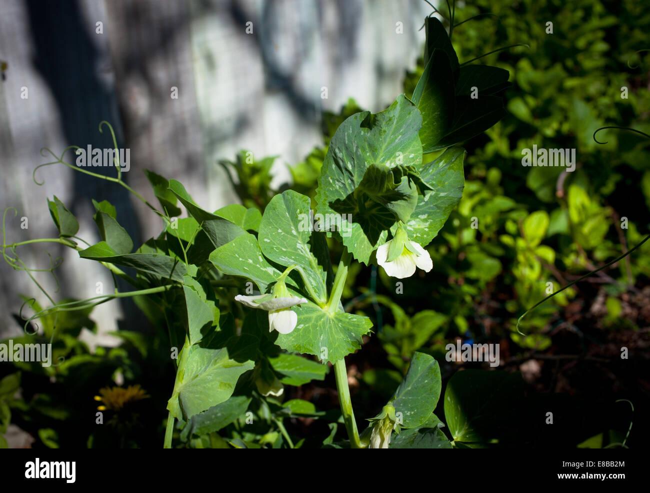 Pea flowers - Stock Image