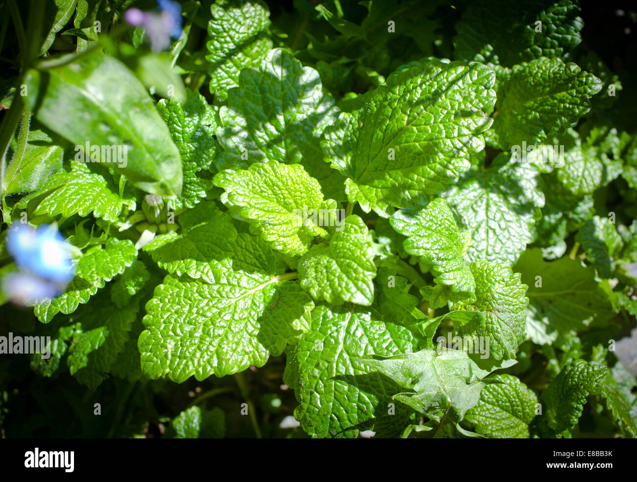 Lemon Balm (Melissa officinalis) Stock Photo