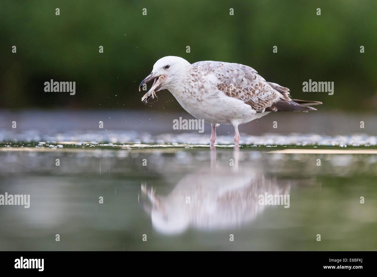 Sub-adult Yellow-legged Gull (Larus michahellis) eating a fish Stock Photo
