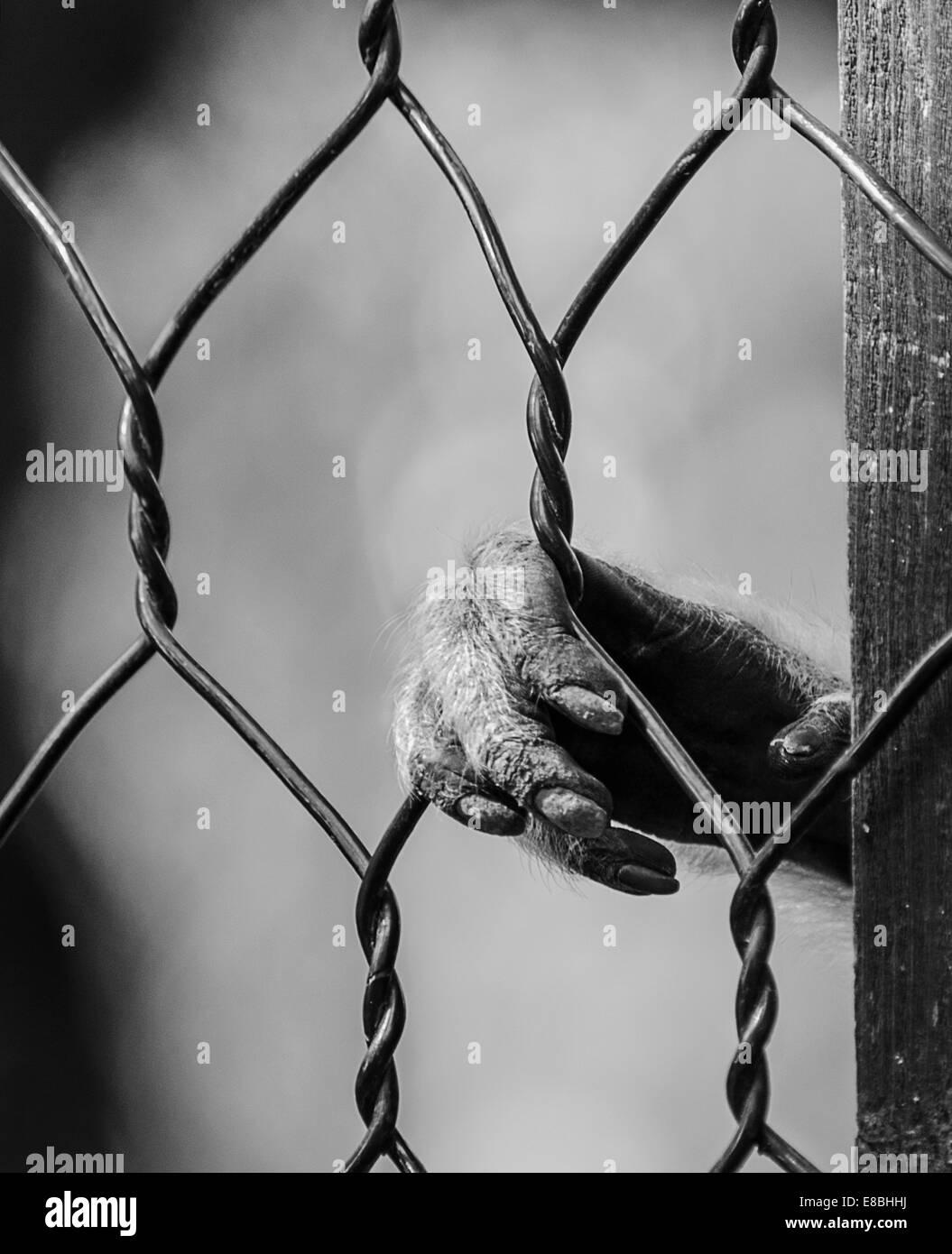 Monkey Hand Behind the Cage Zoo Prisoner Sad Stock Photo