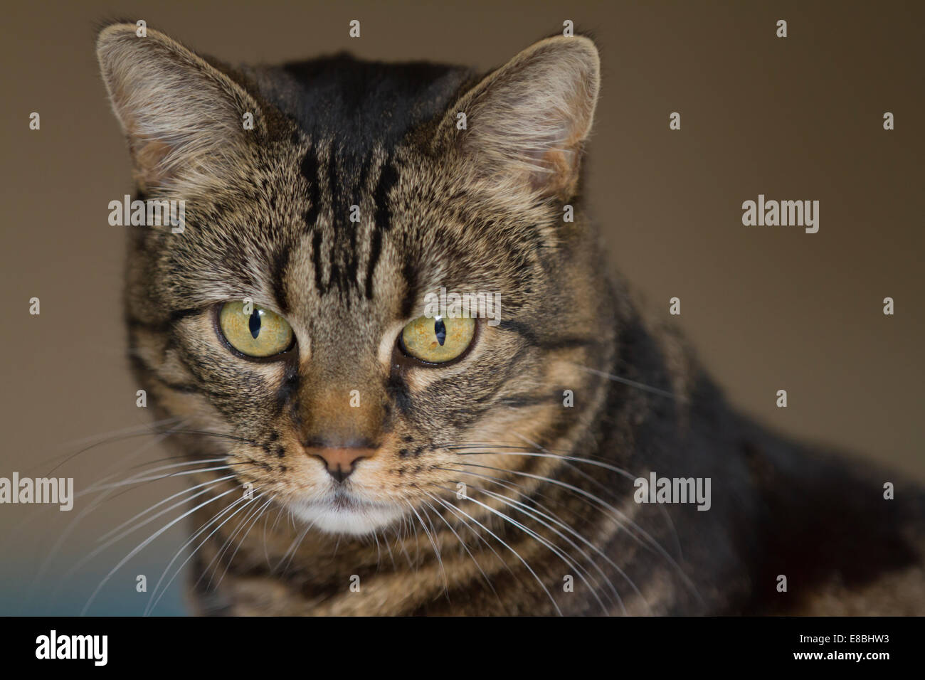 Common mackerel tabby cat sitting indoors in natural light, looking alert - Stock Image