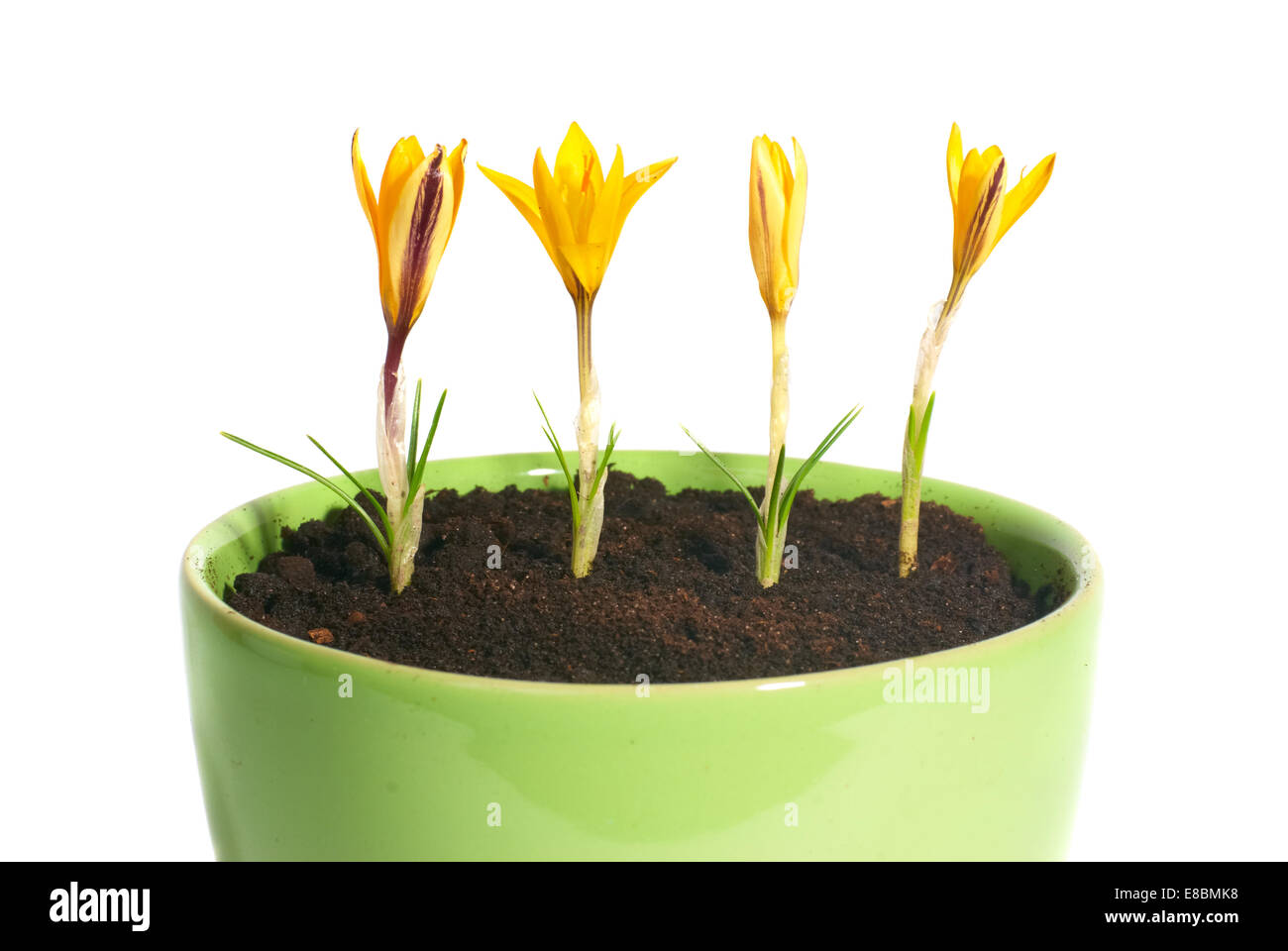 Yellow Flowers Saffron Crocus Sativus With Green Leaves In The