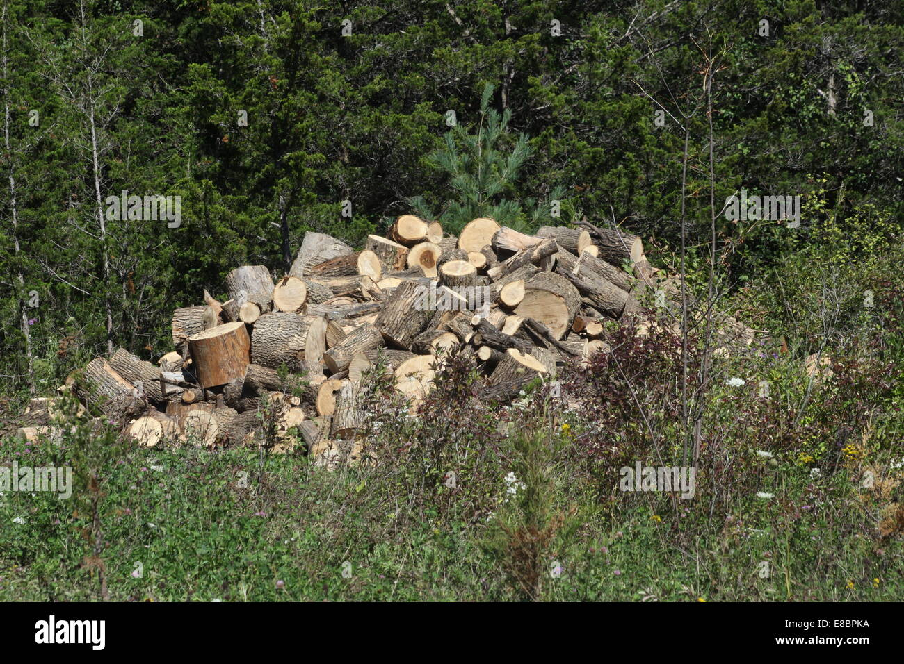 Freshly cut tree into short log lengths ready for drying and then splitting into firewood lengths. - Stock Image