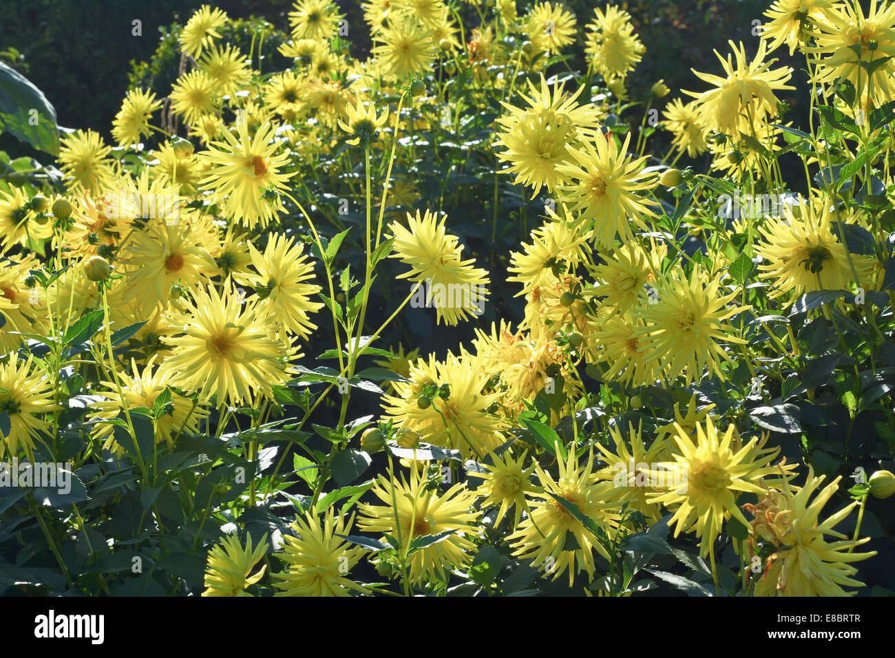 Sunny Garden Scene with Spider Chrysanthemums in Bloom - Stock Image