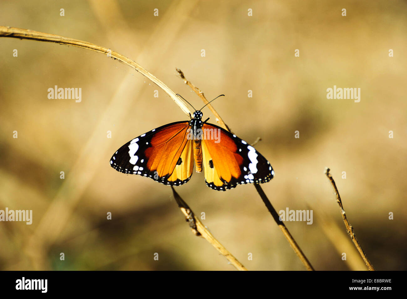 Monarch Butterfly in to the wield - Stock Image