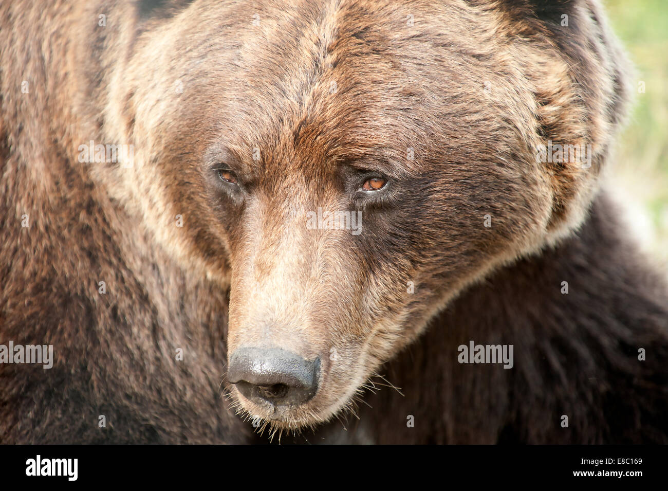Close up of a large dangerous grizzly / Brown bear with red / orange eyes in Alaska | nose | head | snout | fur - Stock Image