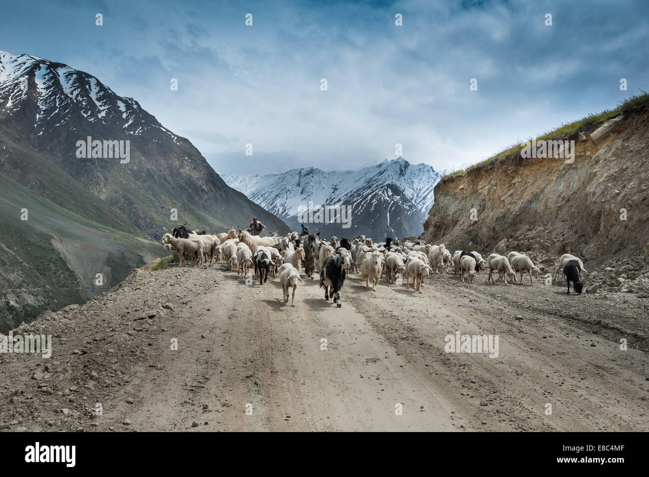 Mountain Nomads is out  for herding on Leh Manali Highway, - Stock Image