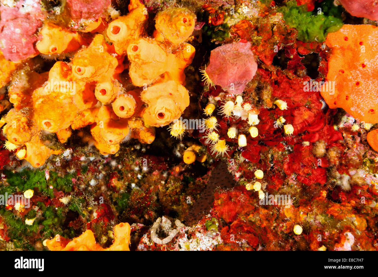 Reef scenic with sponges and cup corals Leros Island Dodecanese Greece - Stock Image
