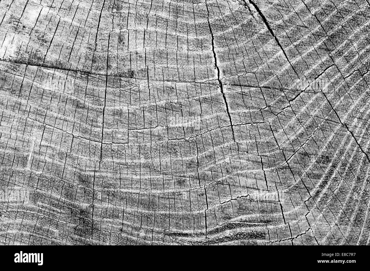 wooden texture background of cut tree - Stock Image