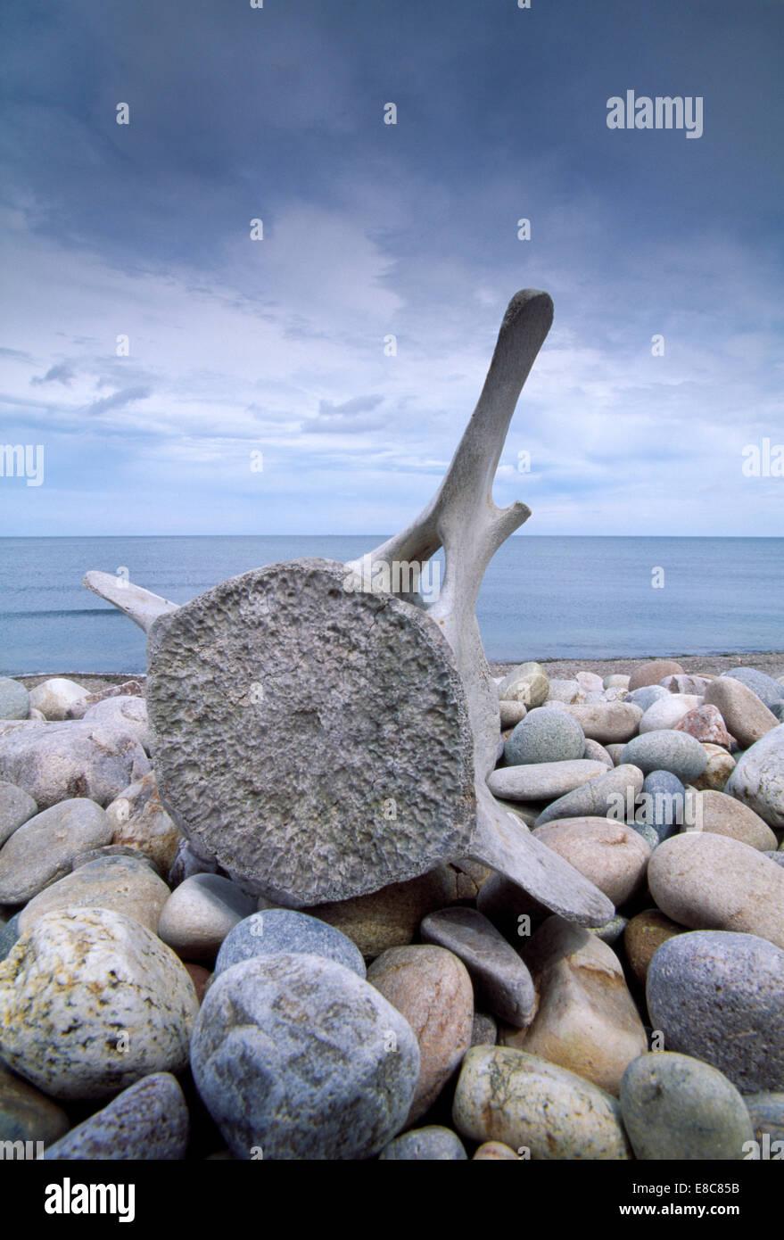 Sperm Whale - Physeter macrocephalus -  vertebrae - Stock Image