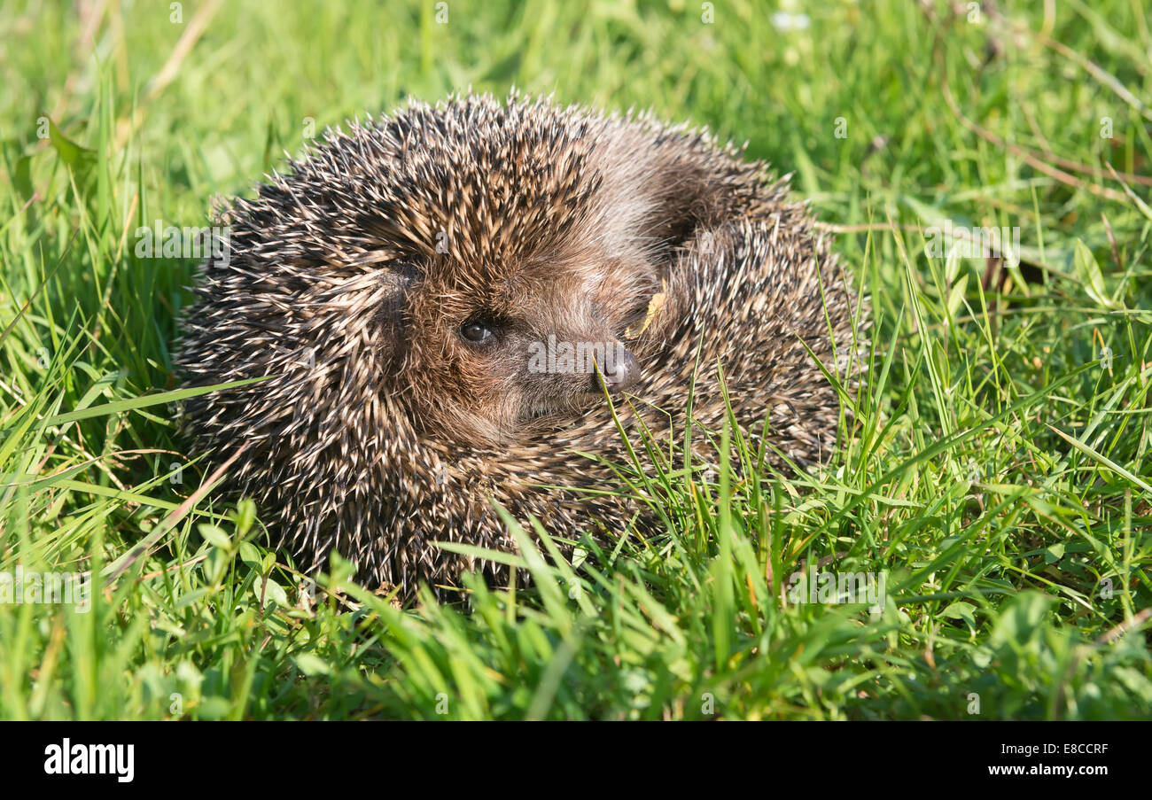 Hedgehog on back curled in the grass - Stock Image