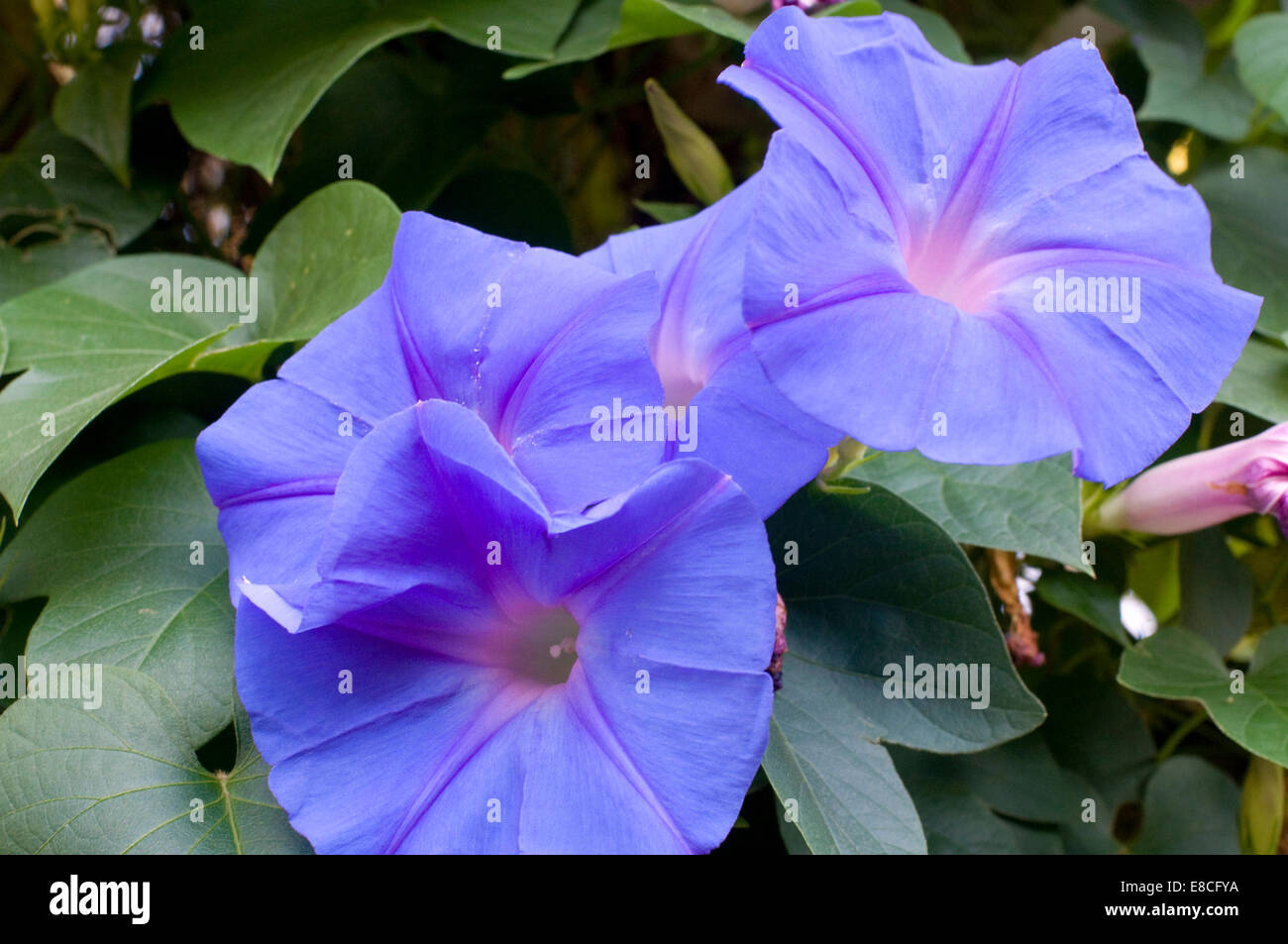 Convolvulus arvensis (field bindweed) is a species of bindweed morning glory family (Convolvulaceae), native to - Stock Image