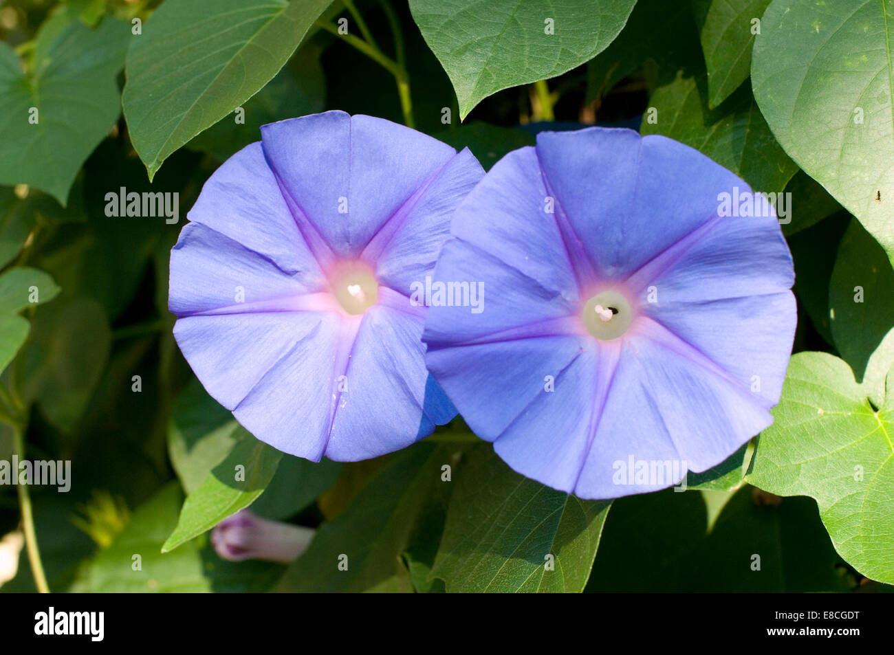 Convolvulus arvensis (field bindweed) bindweed in the morning glory family (Convolvulaceae), native to Europe and - Stock Image