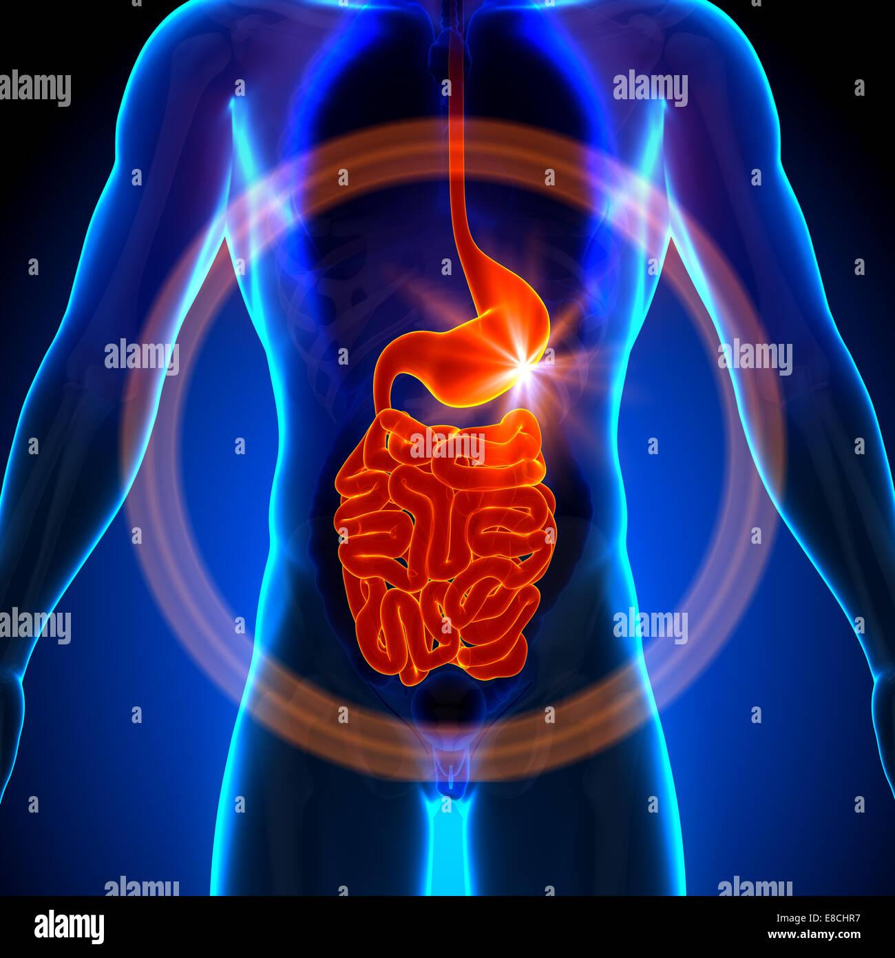 Stomach / Guts / Small Intestine - Male anatomy of human organs ...