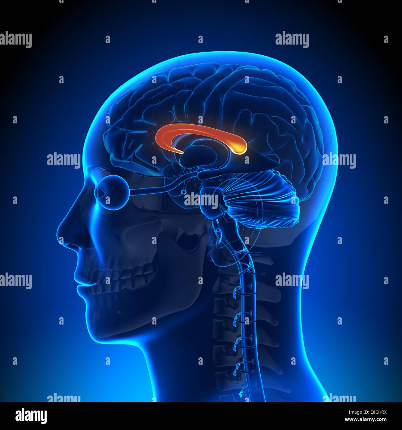 Corpus Callosum - Brain Anatomy Stock Photo: 74036142 - Alamy