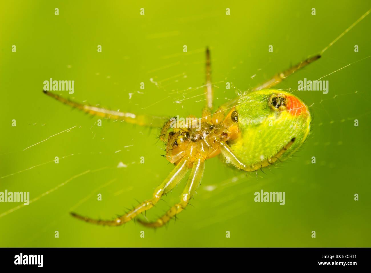 Female Araniella cucurbitina, a small, green orb web garden spider - Stock Image