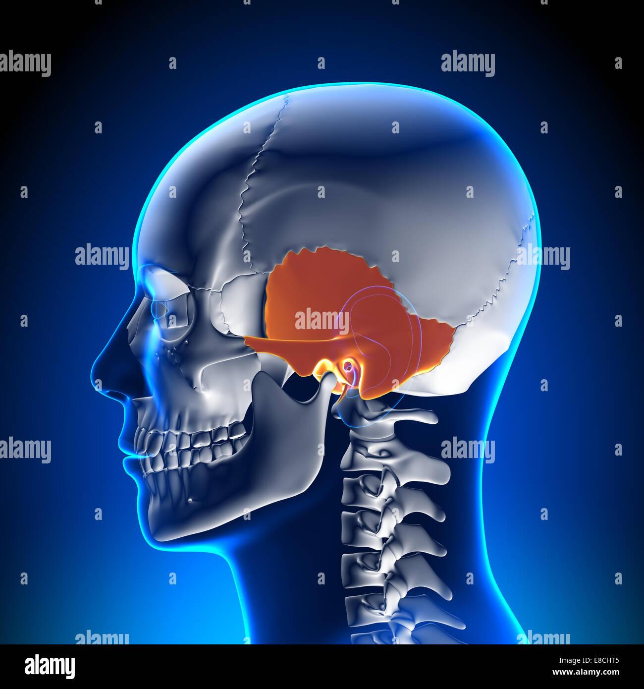 Temporal Bone Stock Photos & Temporal Bone Stock Images - Alamy