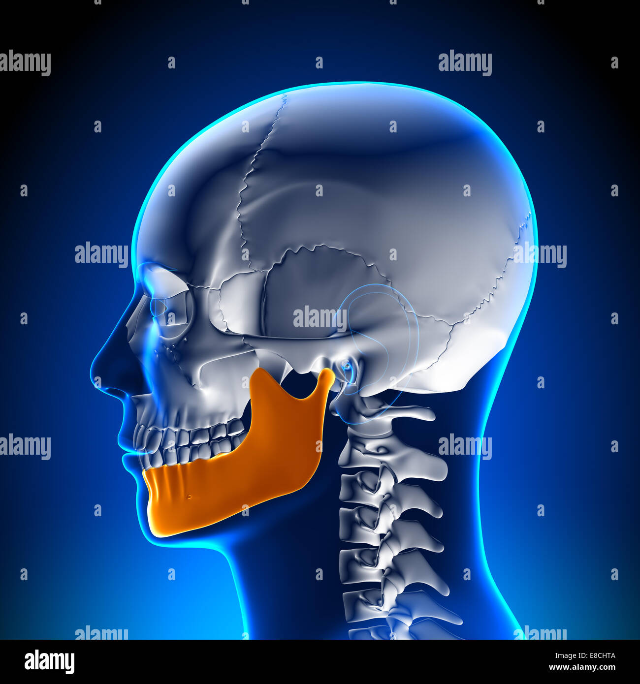 Mandible Human Stock Photos & Mandible Human Stock Images - Alamy