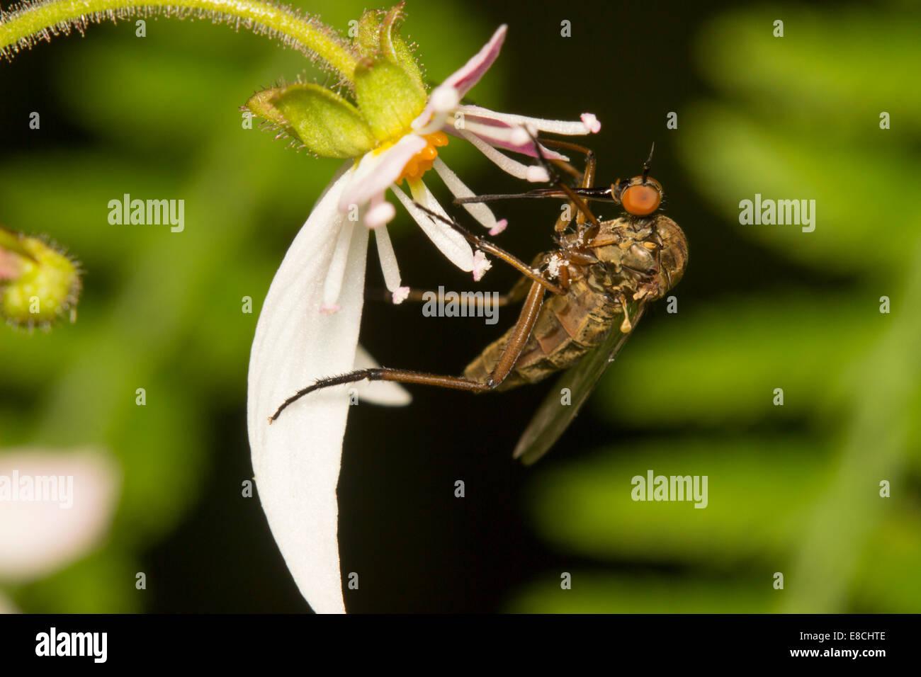Female Empis livida, dance fly, feeding on Saxifraga stolonifera - Stock Image