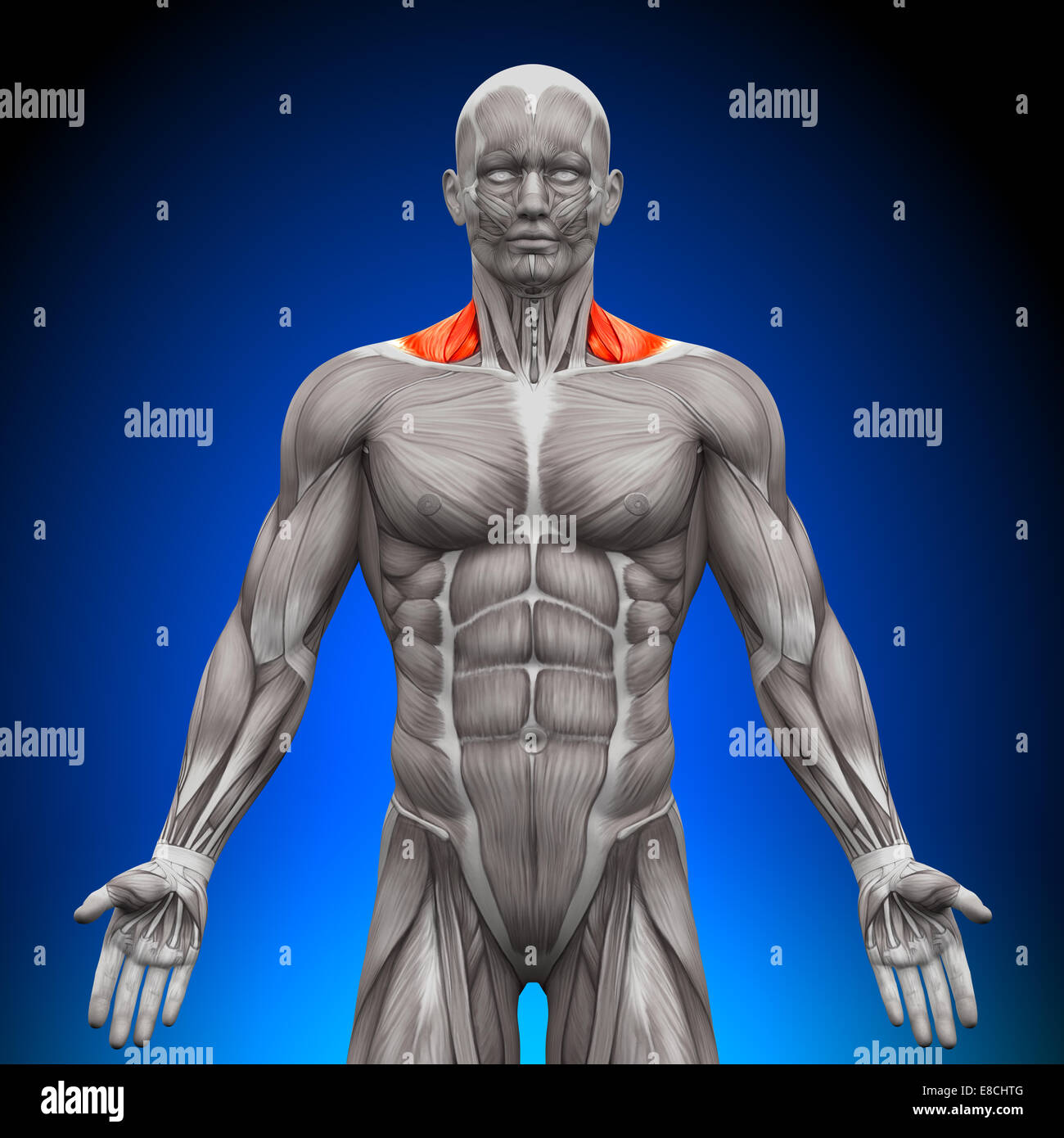 Trapezius Front / Neck Muscles - Anatomy Muscles Stock Photo ...