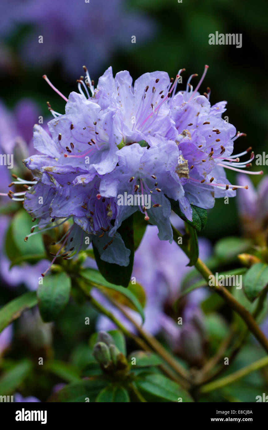 Close up of flowers of Rhododendron 'Penheale Blue' - Stock Image