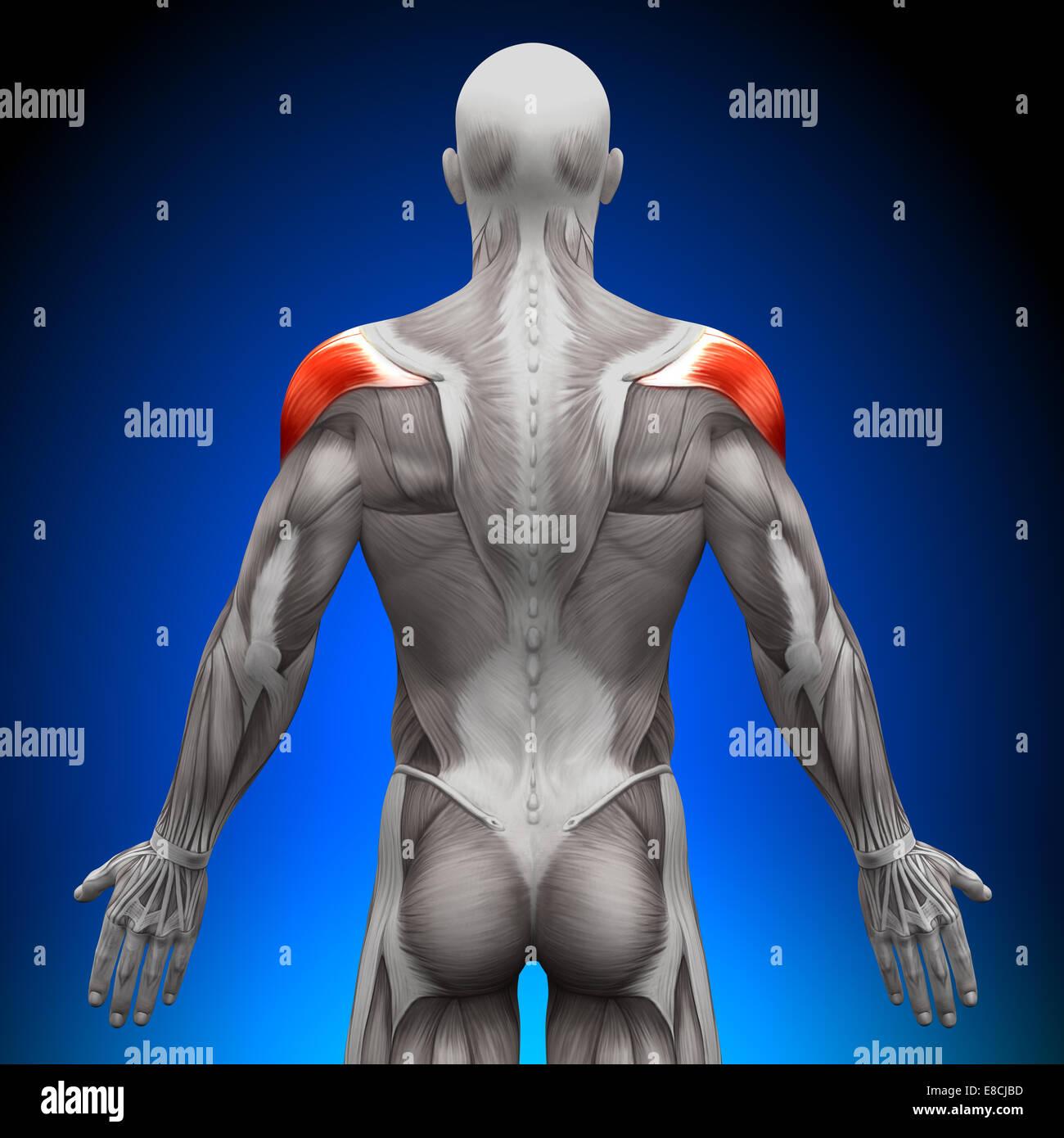 Shoulders Anatomy Muscles Stock Photo 74036577 Alamy