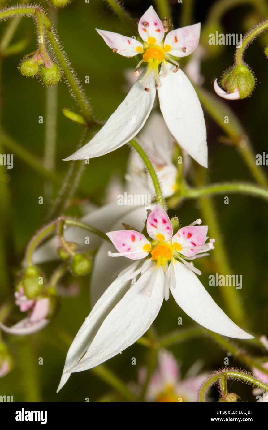 Delicate flowers of the mother of thousands, Saxifraga stolonifera - Stock Image