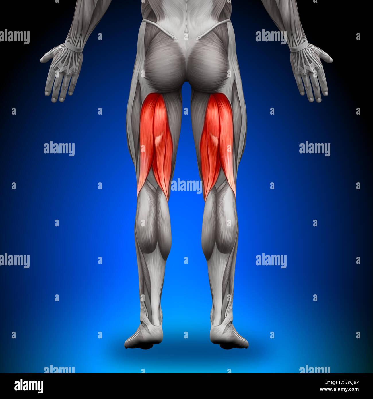 Hamstrings Male Muscles Anatomy Muscle Stock Photos & Hamstrings ...
