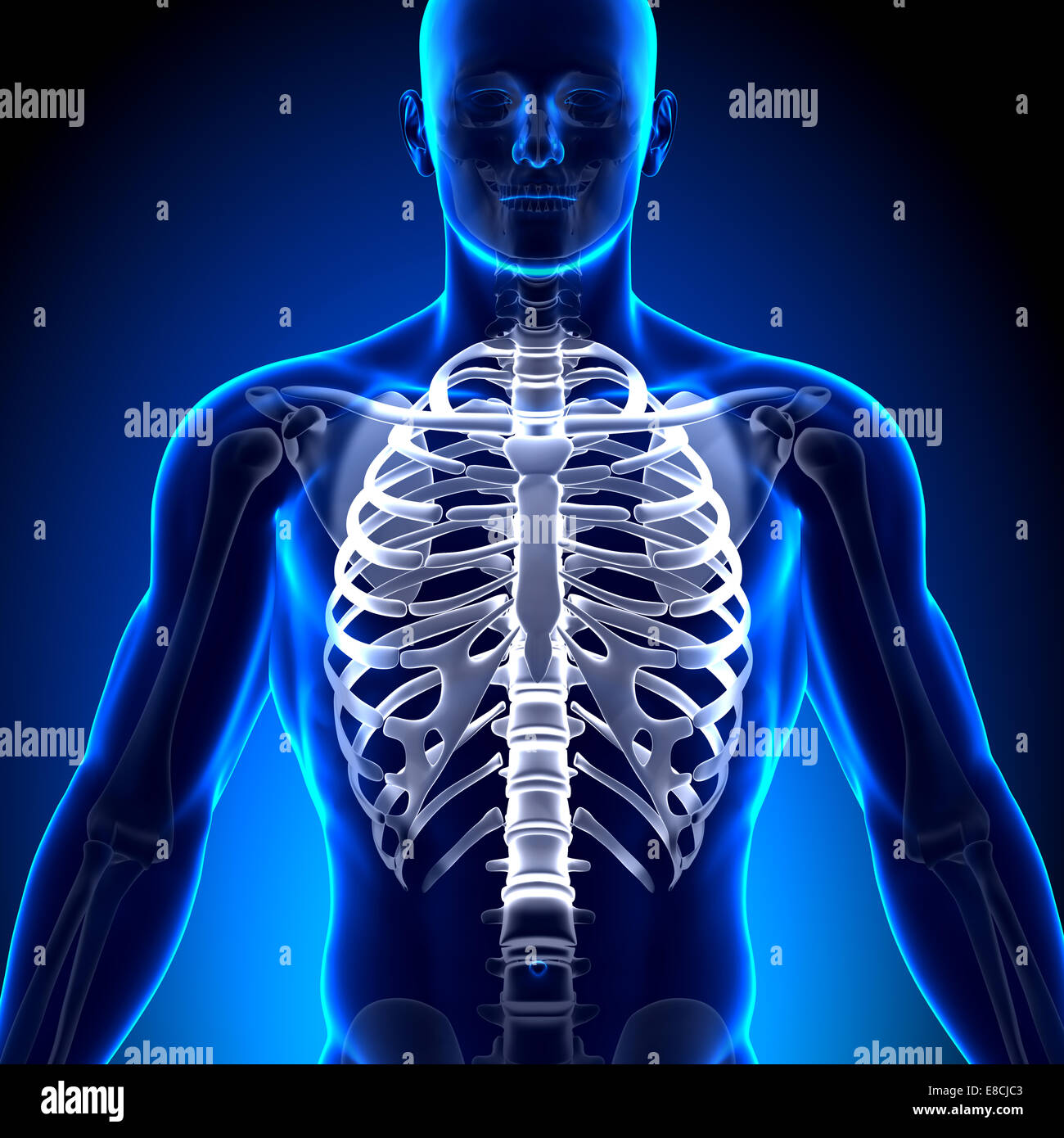 Rib Cage Sternum Anatomy Bones Stock Photo 74036595 Alamy