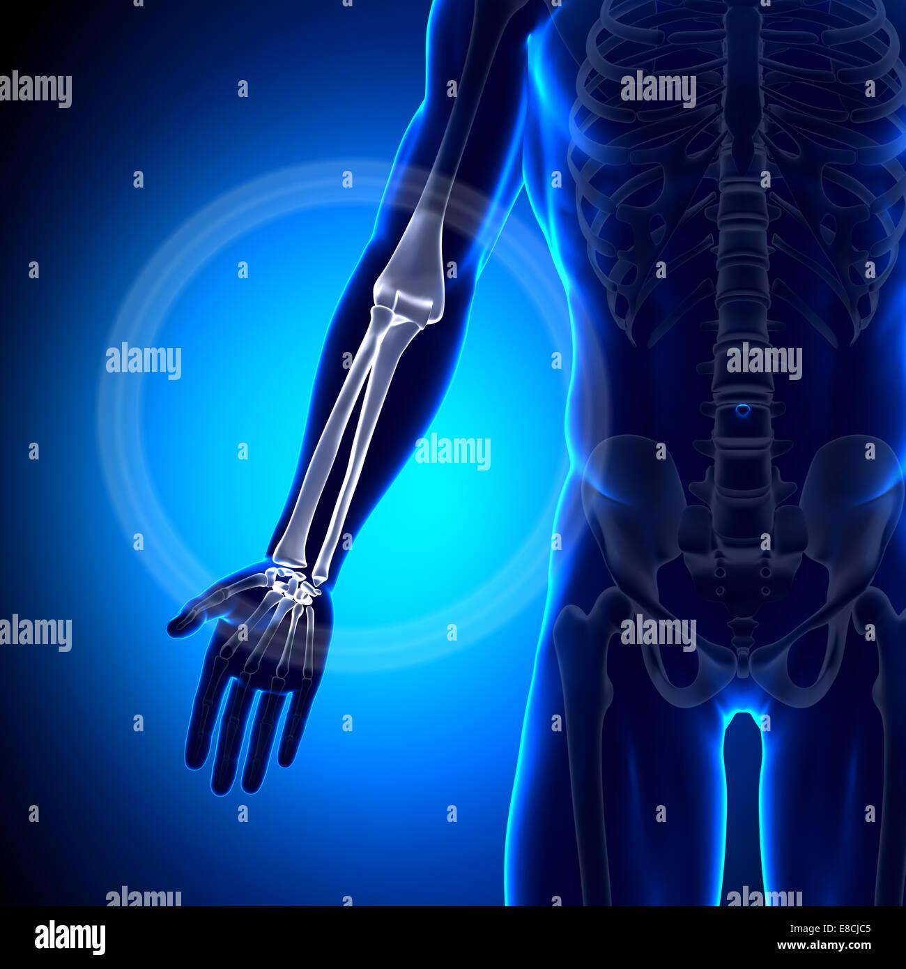 Radius / Ulna - Anatomy Bones Stock Photo: 74036597 - Alamy