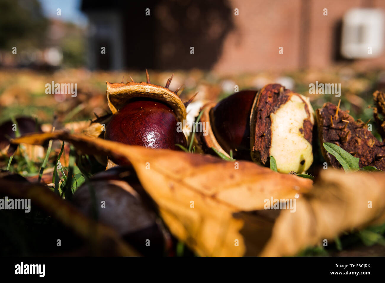Conkers - Stock Image