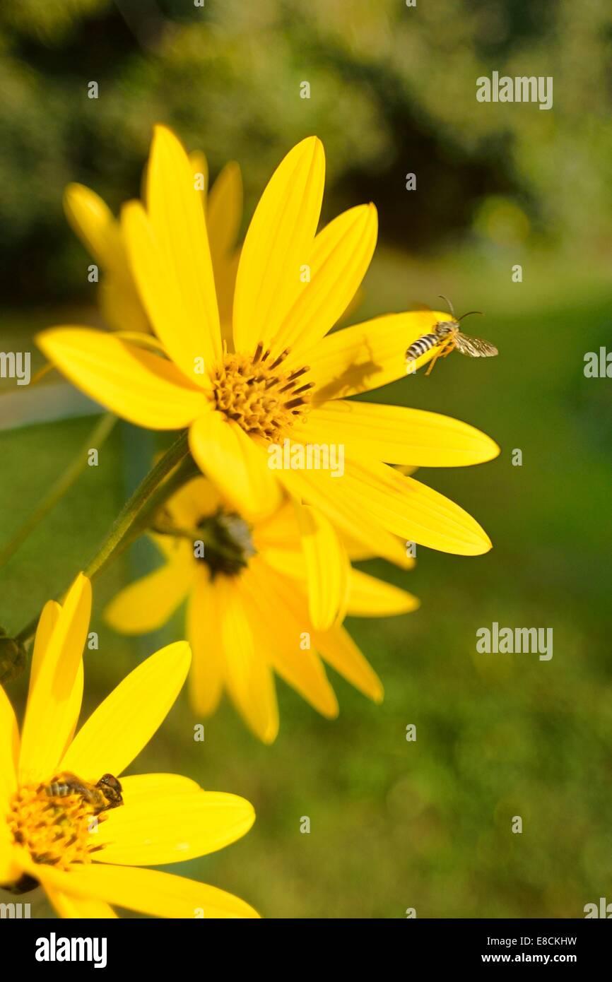 Jerusalem artichoke or Topinambur (Helianthus tuberosus), with Hoverfly, Syrphus ribesii in fly. - Stock Image