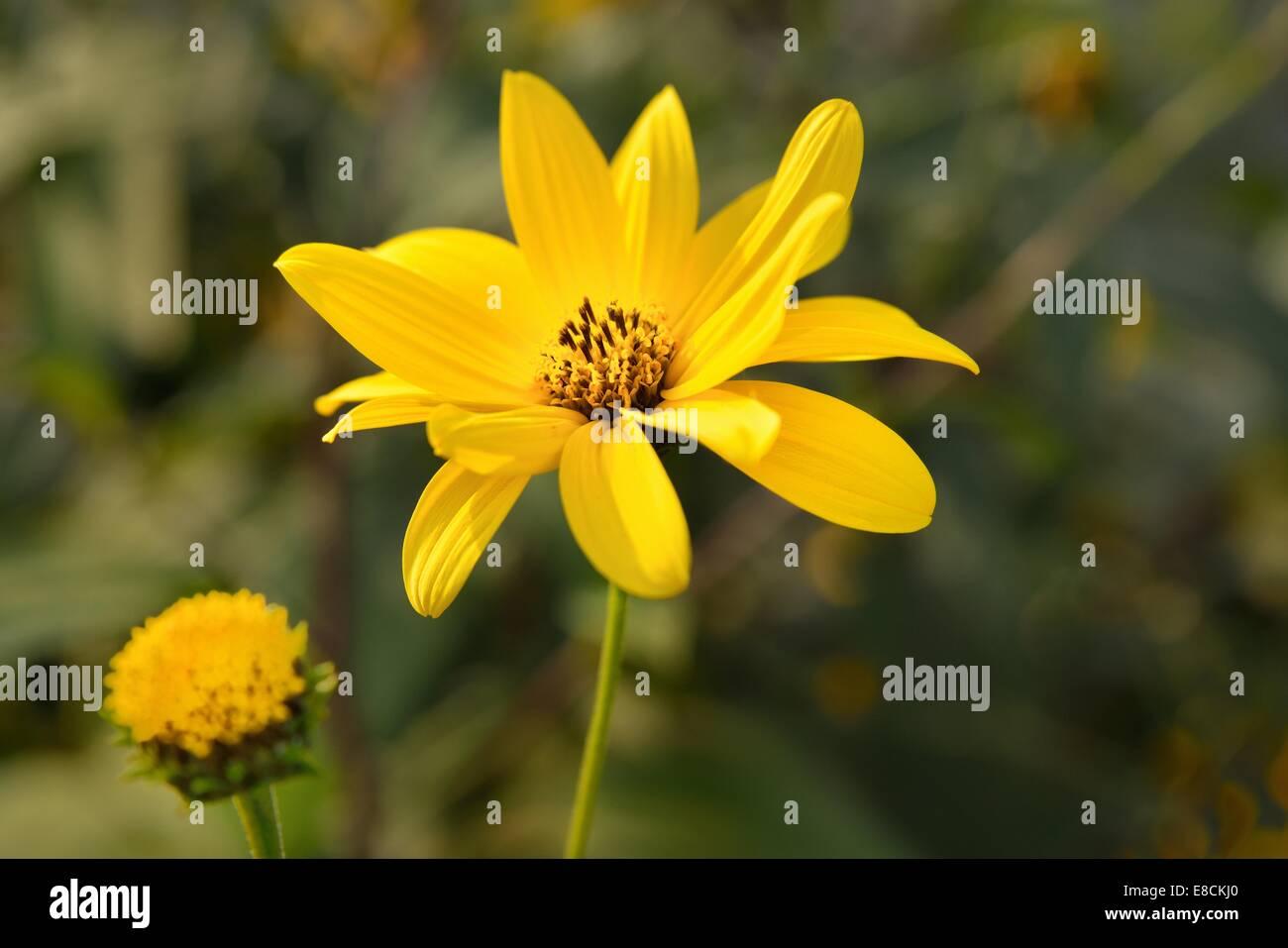 Jerusalem artichoke or Topinambur (Helianthus tuberosus). - Stock Image