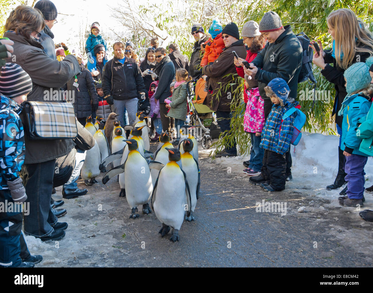 A flock of king penguins is cheered by visitors while the parade is waddling the trails of Zurich Zoo on February - Stock Image