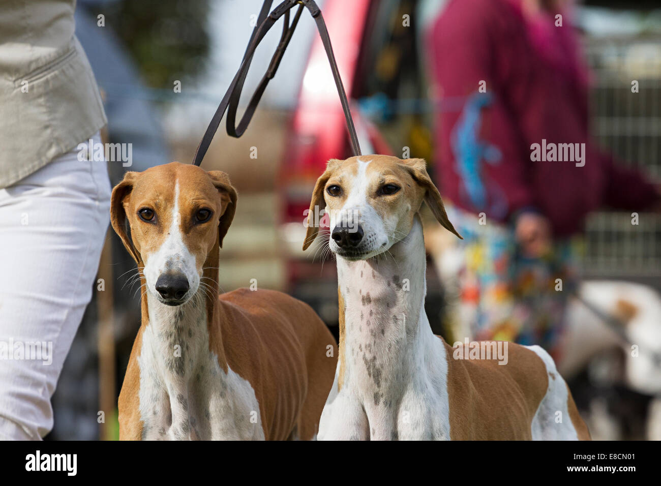 South Wingfield, Derbyshire, UK  5th October 2014  A pair of saluki