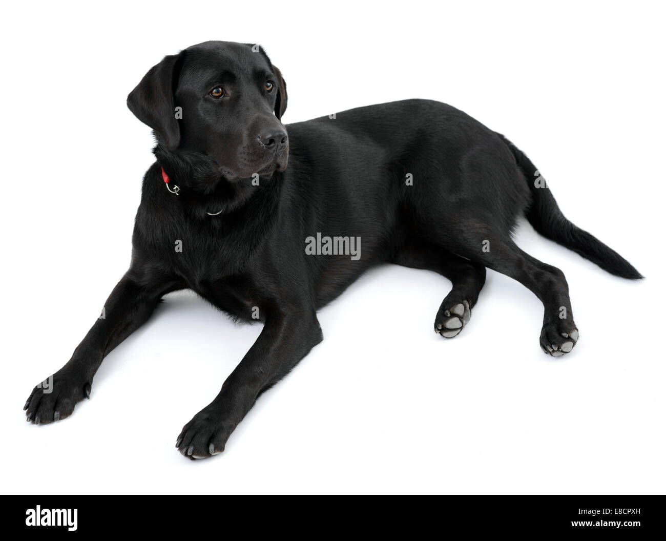 Black labrador retriever dog lying down cut out isolated on white background - Stock Image