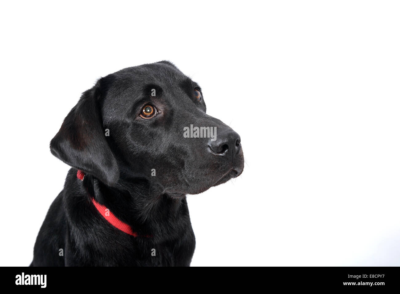 Sad looking labrador retriever cut out isolated on white background - Stock Image