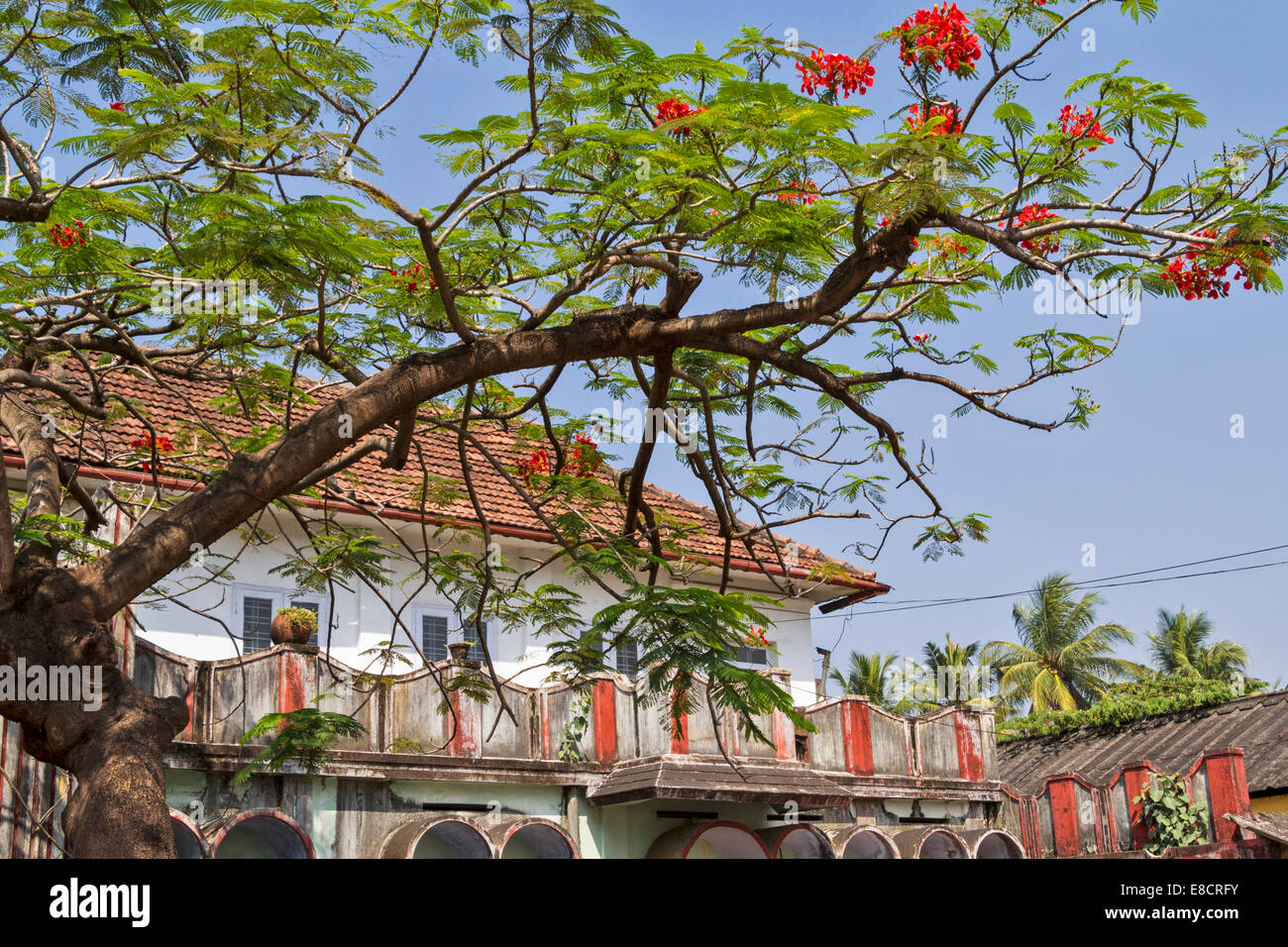 COCHIN OR KOCHI  INDIA FLAMBOYANT TREE [ DELONIX REGIA ] AND RED FLOWERS COVER A RENOVATED HOUSE IN THE OLD PORT - Stock Image