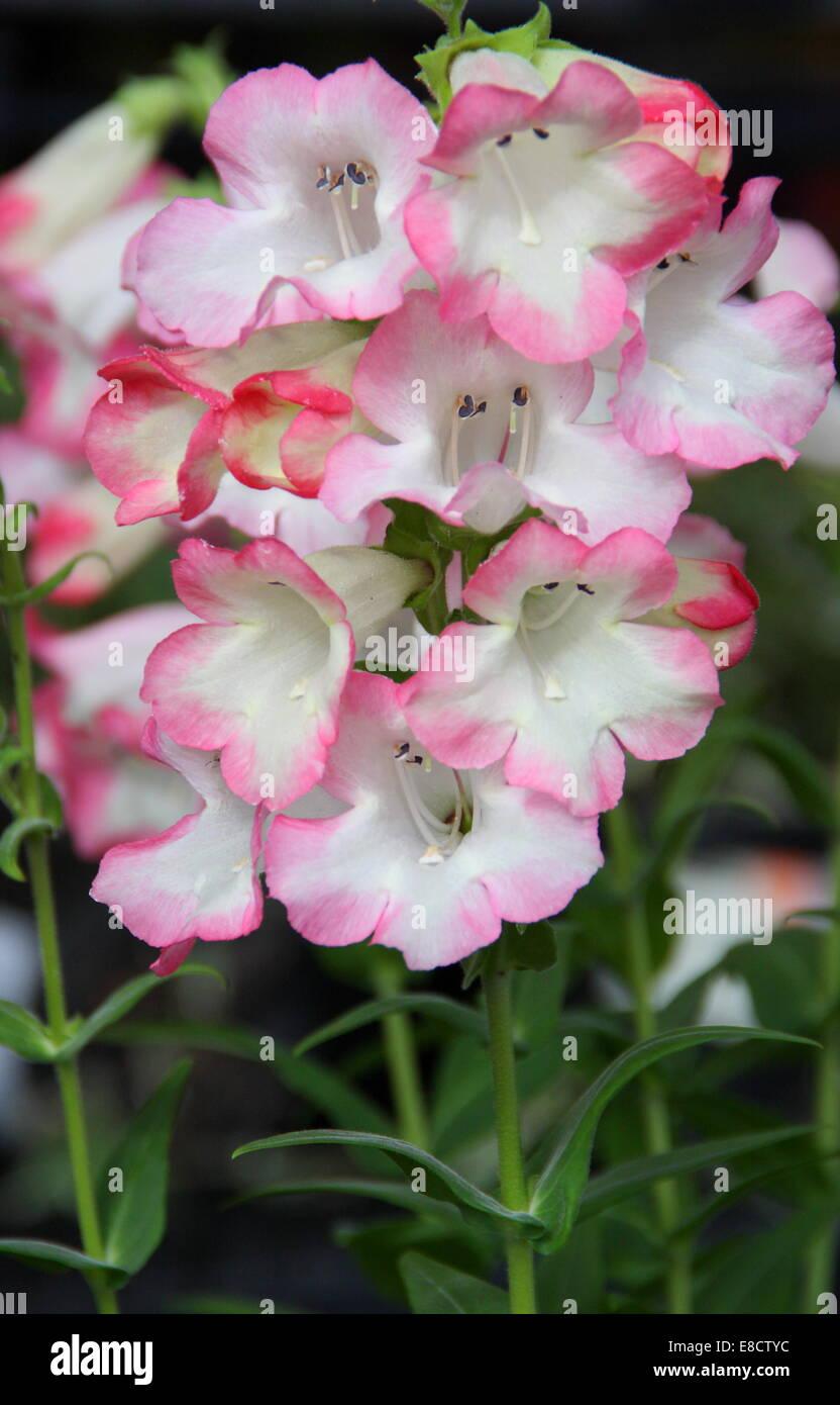 Penstemon 'Phoenix Pink' in flower, England, UK - late summer - Stock Image