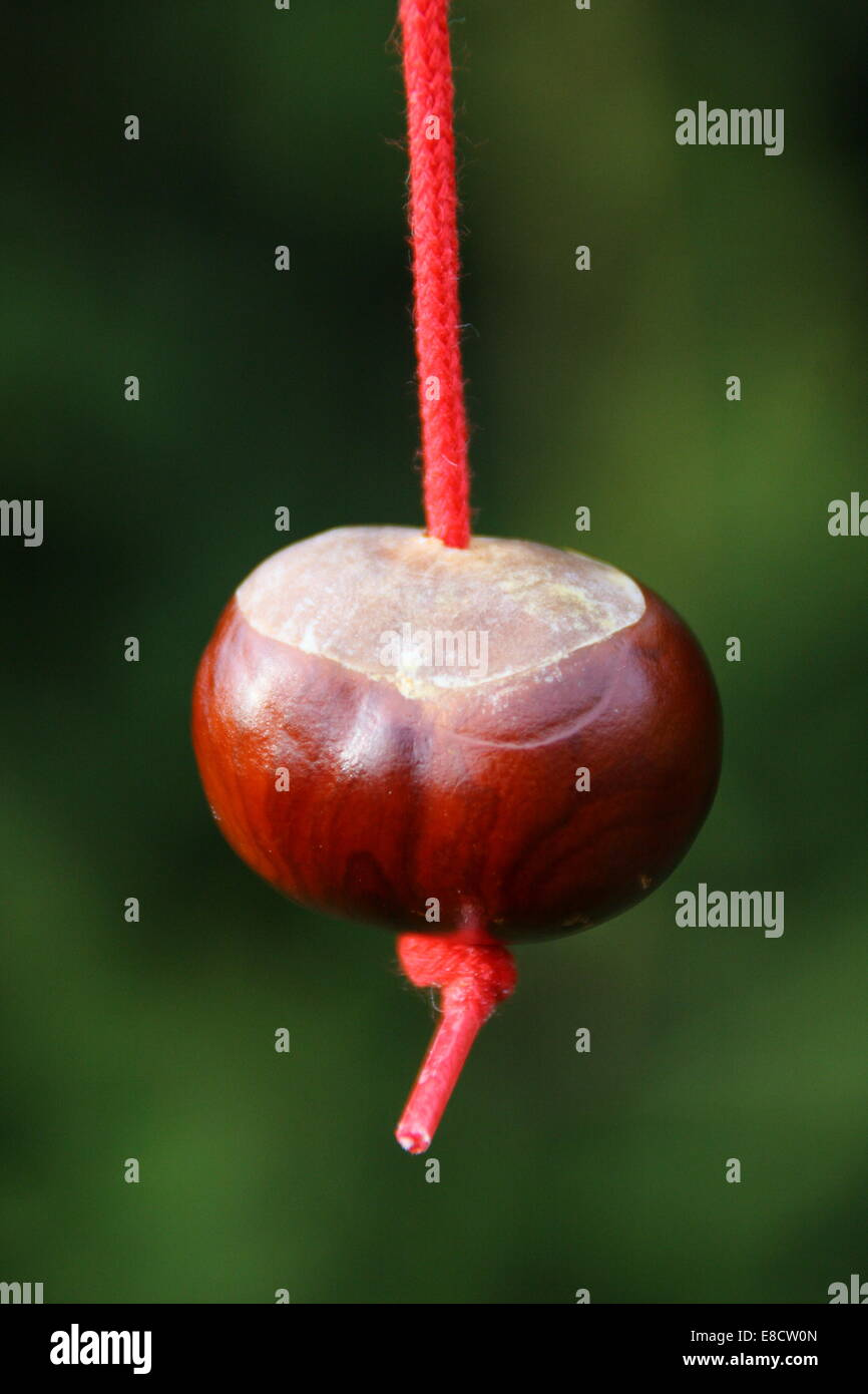 Playing conkers in England, UK - close up - Stock Image